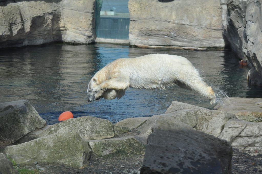 Eisbär sprngt ins Wasser