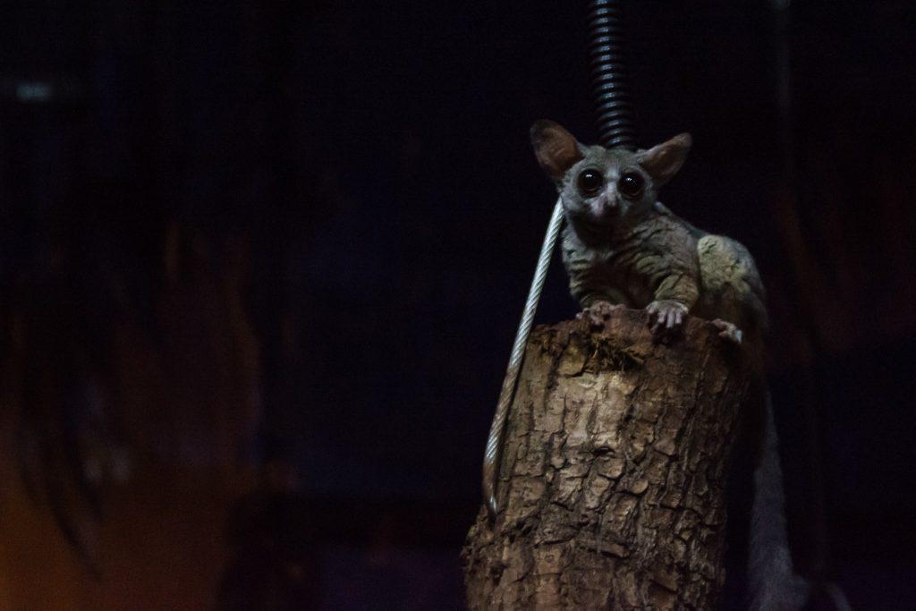 Ein Buschbaby sitzt auf einem Holzstamm.