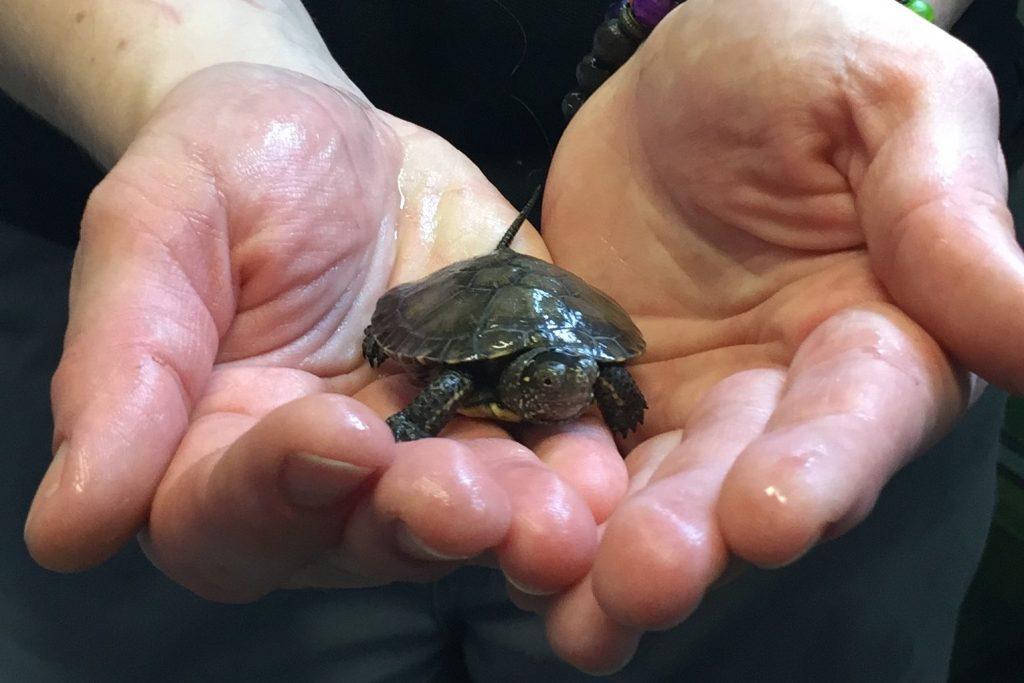Eine Baby-Sumpfschildkröte im Klimahaus Bremerhaven