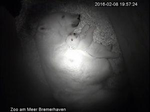 Eisbären in der Wurfhöhle