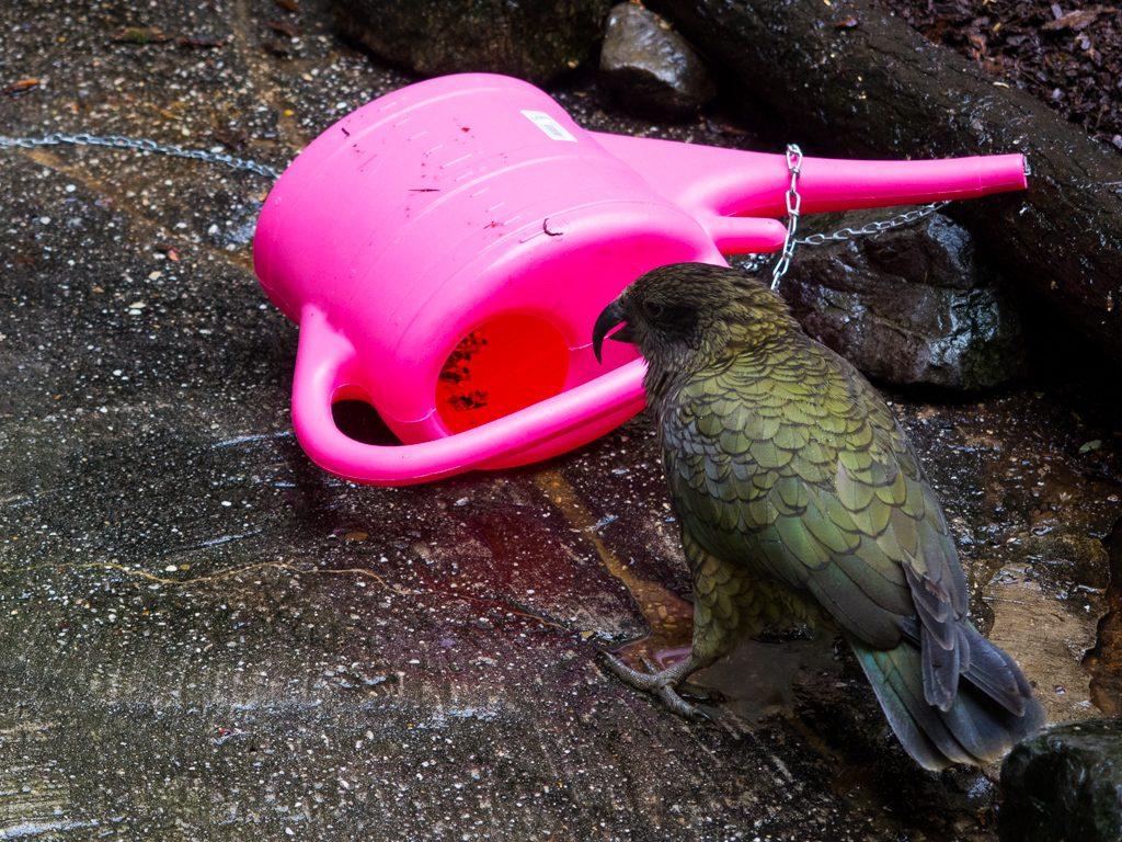 Maori hat die Kette gelöst. [© Antje Mewes]