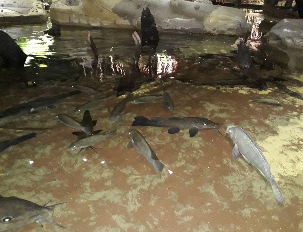 Fische tummeln sich in der Flusslandschaft Kameruns im Klimahaus Bremerhaven 8° Ost (c) Tanja Albert