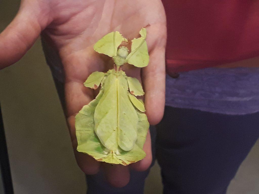 Sieht aus wie ein Blatt, ist aber ein empfindsames Lebewesen, die Gespenstschrecke im Klimahaus Bremerhaven 8° Ost (c) Tanja Albert