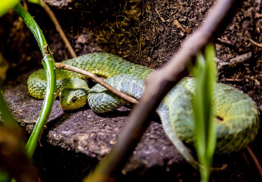Eine hochgiftige Schönheit, die grüne Viper, im Klimahaus Bremerhaven 8° Ost (c) Dieter Neuhoff