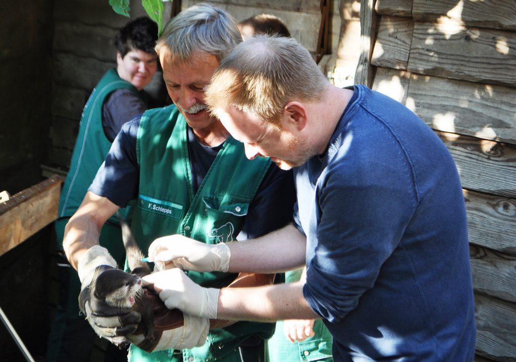 Die Otter werden geimpft