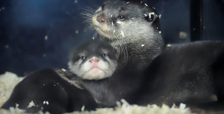 Otter im Innengehege