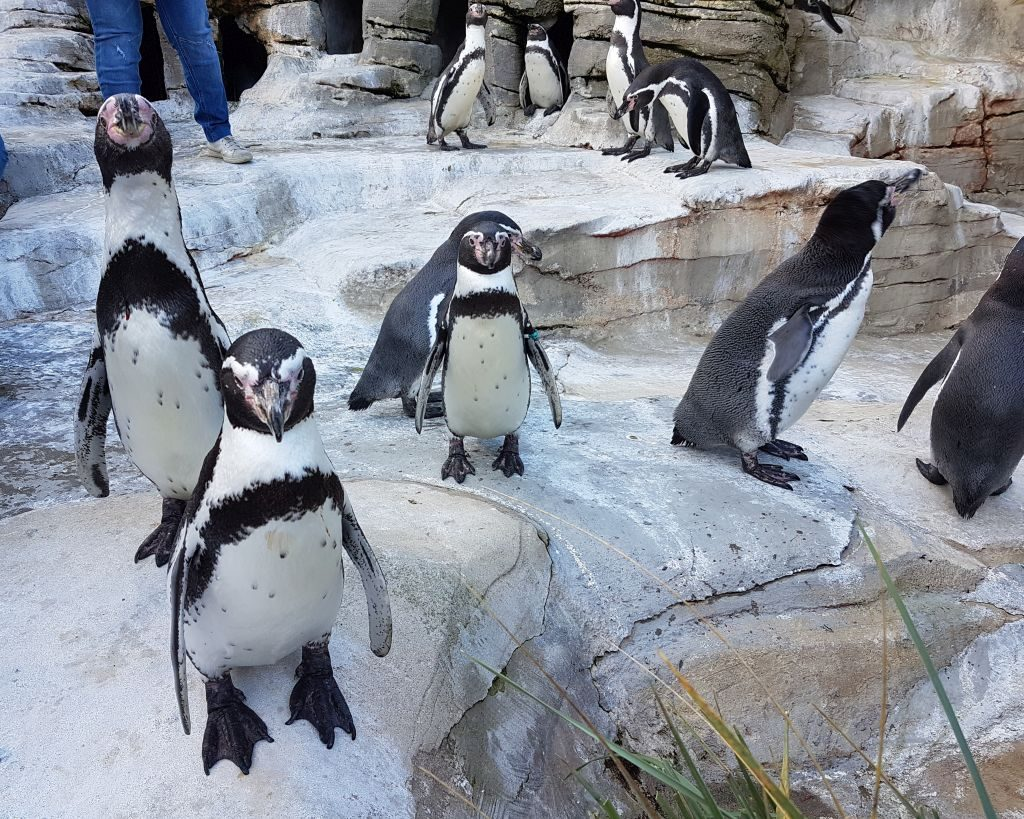 Pinguine im Zoo am Meer in Bremerhaven (c) Tanja Albert