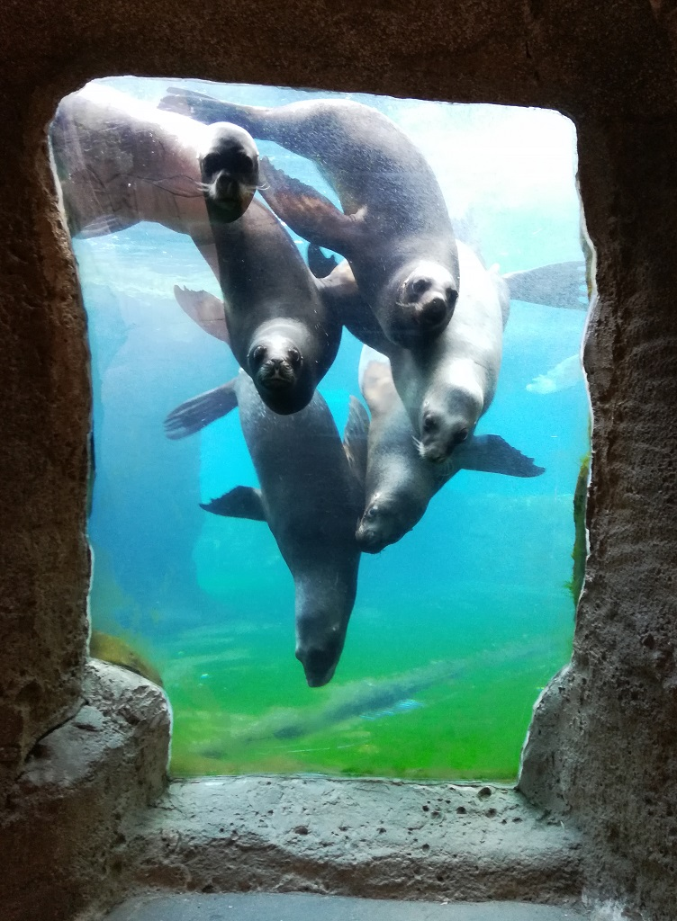 Seelöwen buhlen um Aufmerksamkeit