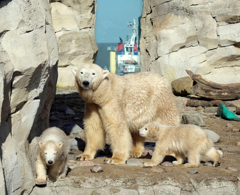 Eisbärenbabies mit der Mutter im Zoo am Meer (c) Bernd Ohlthaver
