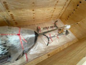 Der Narwal wurde sicher in einer Holzkiste verstaut und fixiert, um ins Deutsche Schifffahrtsmuseum gebracht zu werden.
