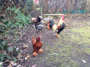 mehrere Hühner und ein Hahn stolzieren durch den Garten