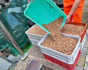 Krabben werden in Kisten abgefüllt (c) Achim Meurer