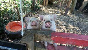 zwei Schweine schauen in die Kamera