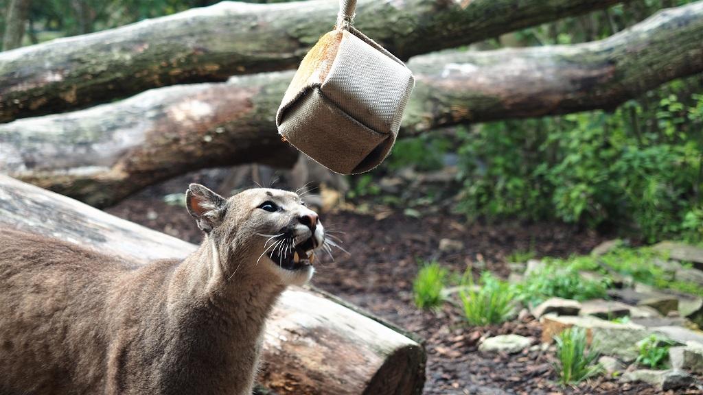 Neugierde bei den Pumas